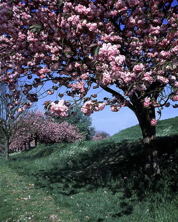 Alley Blossums